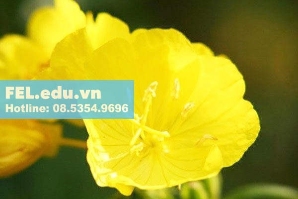 Tinh dầu hoa anh thảo có tốt không?