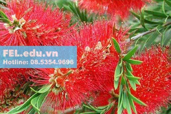 Cây tràm bông đỏ ( Cây Tràm liễu)