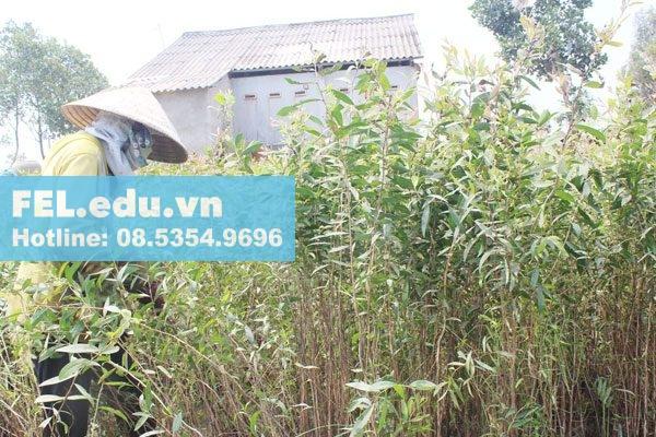 Cây Tràm trồng và khai thác như thế nào?