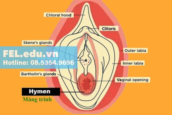 Màng trinh là một lớp niêm mạc mỏng, mọc ra từ chung quanh âm môn, che phủ lỗ ngoài của âm đạo