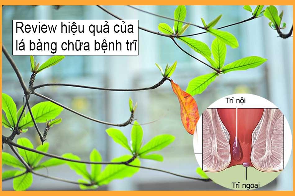 Review hiệu quả của lá bàng chữa bệnh trĩ